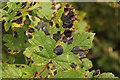 SK8627 : Maple Tar Spot by Richard Croft