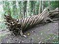 SE3245 : Dead chestnut tree near Harewood Castle by Humphrey Bolton