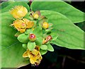 J4681 : Tutsan berries, Crawfordsburn - September 2015(4) by Albert Bridge