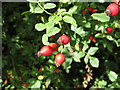 SU7398 : Rose hips by the Ridgeway by David Hawgood