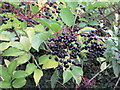 SU7498 : Elderberries by the Ridgeway by David Hawgood