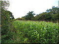 SU7498 : Maize in narrow field by the Ridgeway by David Hawgood