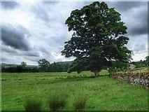 NZ0901 : Mature Tree in a Field by Mick Garratt