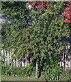 NJ6201 : Fruiting crab apple tree by Stanley Howe