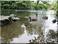 NY3603 : Brathay and Skelwith – ducks on the River Brathay by Peter S