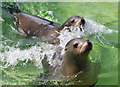 SH8378 : Californian Sea Lions at the Welsh Mountain Zoo by Jeff Buck