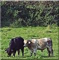 J3067 : Cattle, Drumbeg, Dunmurry (October 2015) by Albert Bridge