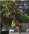 SS9700 : Cherries, Killerton car park by Derek Harper