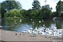 TL1998 : Swans on the River Nene by N Chadwick
