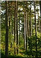 SK5972 : Pines in the sunshine by Alan Murray-Rust