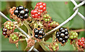 J4669 : Blackberries, Comber (October 2015) by Albert Bridge