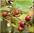 J4669 : Haws, Comber - October 2015(1) by Albert Bridge