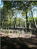 SE0421 : Replanting in Rough Hey Wood, Norland by Humphrey Bolton