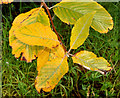 J3875 : Autumn leaves, Belfast (October 2015) by Albert Bridge