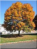 ST0107 : Cullompton: Sycamore tree by Martin Bodman
