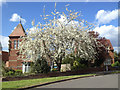 SP2965 : Double-flowered white cherry by All Saints Road, Emscote, Warwick by Robin Stott