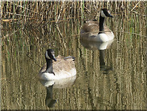 SP9314 : Canada Geese among the reeds at College Lake by Chris Reynolds