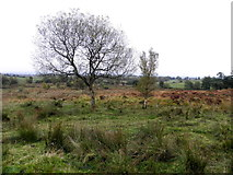 H5672 : Heathland, Mullaghslin Glebe by Kenneth  Allen
