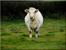 H5572 : Bull, Bracky by Kenneth  Allen