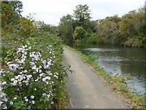 TQ2182 : Michaelmas Daisies beside the Paddington Branch of the Grand Union Canal near Old Oak Common by Rod Allday