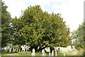 SO0944 : Yew tree at St Teilo's by Bill Nicholls