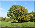 SD7313 : Oak tree in autumn by Philip Platt