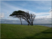 J3731 : Wind sculptured tree is the grounds of the Slieve Donard Hotel by Eric Jones
