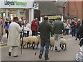 SP9211 : Sheep being driven down Tring High Street by Chris Reynolds