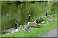 SO8276 : Canada Geese in Kidderminster, Worcestershire by Roger  Kidd