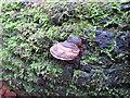 SU9585 : Hoof fungus on dead wood, Burnham Beeches by David Hawgood