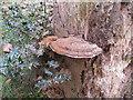 SU9585 : Tinder fungus on standing dead beech tree by David Hawgood