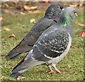 J3675 : Feral pigeons, Victoria Park, Belfast (October 2015) by Albert Bridge