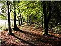 H4863 : Fallen leaves, Seskinore Forest by Kenneth  Allen