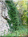 SK5489 : Cliff and ivy, Roche Abbey, Maltby by Humphrey Bolton