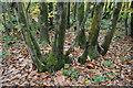 TQ7133 : Coppiced Chestnut tree by N Chadwick