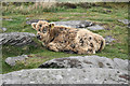 SK2675 : Fluffy calf on Big Moor by Bill Boaden