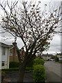 ST1998 : Cherry tree, Waun Goch Road, Oakdale by M J Roscoe