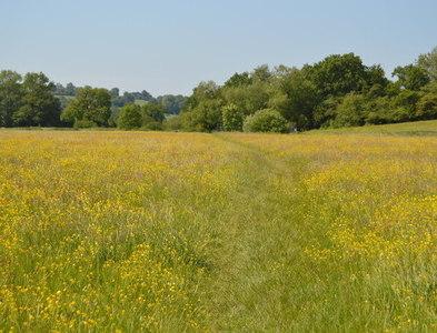 TQ5342 : Footpath across buttercup meadow by N Chadwick