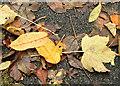 J3673 : Autumn leaves, Comber Greenway, Belfast - November 2015(2) by Albert Bridge