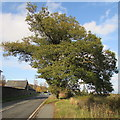 SJ2205 : Pavement past a roadside tree south of Welshpool by Jaggery