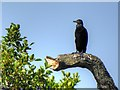 TG3115 : Cormorant in the trees at Salhouse Broad by David Dixon