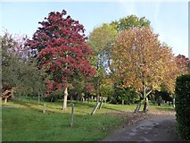 SX9393 : Autumn colour in Exeter Higher Cemetery by David Smith