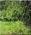 ST5775 : Horse chestnut, Clay Pit Road by Derek Harper