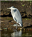 J3675 : Heron, Victoria Park, Belfast (November 2015) by Albert Bridge