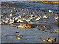 NZ5234 : Sanderlings on North Sands by Oliver Dixon
