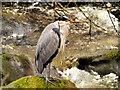 NY3804 : Grey Heron by David Dixon