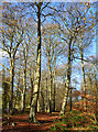 SU6780 : Handsome beech trees, Hook End, Oxfordshire by Oswald Bertram