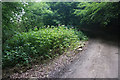 SO9214 : A clump of Himalayan balsam in Witcombe Wood by Bill Boaden