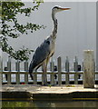 SP8835 : Heron next to the Grand Union Canal by Mat Fascione