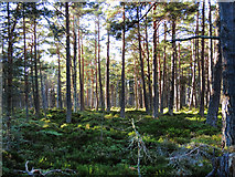 NH9718 : Pine woods on the banks of Loch Garten by Nick Smith